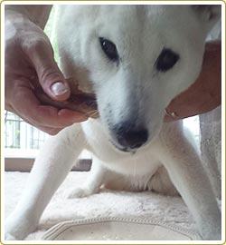 第1回 長寿コンテスト 長寿賞 ピース(17歳2カ月)柴犬