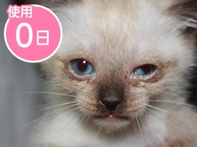 〈使用前〉生まれつきの慢性的な目ヤニ、ただれ、鼻水に苦しむシロ(猫)