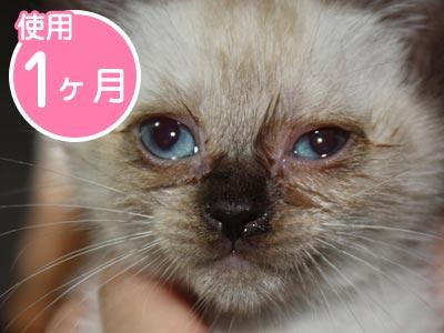 〈使用1ヶ月〉排毒が進み、目ヤニも治まり着実に正常化に向かうシロ(猫)